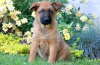 Belgian Shepherd Dog (Malinois) Puppies for sale in Seattle, WA 98103, USA. price: NA