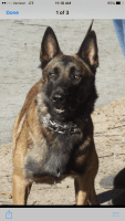 Belgian Shepherd Dog (Malinois) Puppies for sale in Newport, NC 28570, USA. price: NA