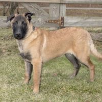 Belgian Shepherd Dog (Malinois) Puppies for sale in Canton, OH, USA. price: NA
