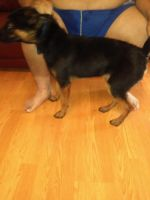 Belgian Shepherd Dog (Malinois) Puppies for sale in Conroe, TX, USA. price: NA