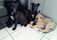 Belgian Shepherd Dog (Malinois) Puppies for sale in Camellia Dr, Winter Haven, FL 33880, USA. price: NA