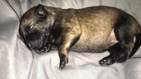 Belgian Shepherd Dog (Malinois) Puppies for sale in Dallas, TX, USA. price: NA