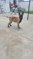 Belgian Shepherd Dog (Malinois) Puppies for sale in Huntington Park, CA, USA. price: NA