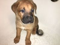 Belgian Shepherd Dog (Malinois) Puppies for sale in Livonia, MI, USA. price: NA
