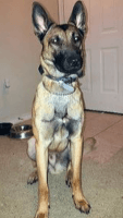 Belgian Shepherd Dog (Malinois) Puppies for sale in Mt Pleasant, TX 75455, USA. price: NA