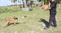 Belgian Shepherd Dog (Malinois) Puppies for sale in Miami, FL 33132, USA. price: NA