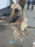 Belgian Shepherd Dog (Malinois) Puppies for sale in Hazel Park, MI 48030, USA. price: NA