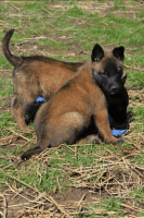 Belgian Shepherd Dog (Malinois) Puppies for sale in Bethel, OH 45106, USA. price: NA