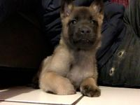 Belgian Shepherd Dog (Malinois) Puppies for sale in Detroit, MI, USA. price: NA