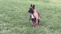Belgian Shepherd Dog (Malinois) Puppies for sale in Edinburg, TX, USA. price: NA