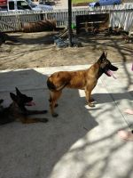 Belgian Shepherd Dog (Malinois) Puppies for sale in Manteca, CA, USA. price: NA