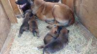 Belgian Shepherd Dog (Malinois) Puppies for sale in NC-53, Atkinson, NC 28421, USA. price: NA