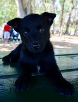 Belgian Shepherd Dog (Malinois) Puppies for sale in Tampa, FL, USA. price: NA