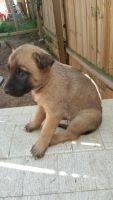 Belgian Shepherd Dog (Malinois) Puppies for sale in 30080 Spring Rd SE, Atlanta, GA 30339, USA. price: NA