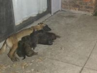 Belgian Shepherd Dog (Malinois) Puppies for sale in Carrollton, TX, USA. price: NA