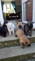 Belgian Shepherd Dog (Malinois) Puppies for sale in Jersey City, NJ, USA. price: NA