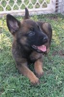 Belgian Shepherd Dog (Malinois) Puppies for sale in El Centro, CA, USA. price: NA