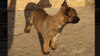 Belgian Shepherd Dog (Malinois) Puppies for sale in Pomona, CA, USA. price: NA