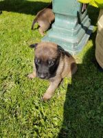 Belgian Shepherd Dog (Malinois) Puppies for sale in Seattle, WA 98185, USA. price: NA