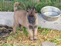 Belgian Shepherd Dog (Malinois) Puppies for sale in Nevada St, Newark, NJ 07102, USA. price: NA