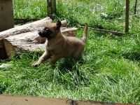 Belgian Shepherd Dog (Malinois) Puppies for sale in Alaska St, Staten Island, NY 10310, USA. price: NA
