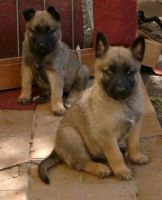 Belgian Shepherd Dog (Malinois) Puppies for sale in Lincoln, NE, USA. price: NA