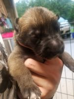 Belgian Shepherd Dog (Malinois) Puppies for sale in Orlando, FL, USA. price: NA
