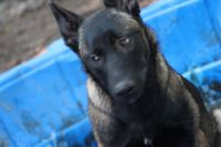 Belgian Shepherd Dog (Malinois) Puppies for sale in Cartersville, GA, USA. price: NA