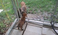 Belgian Shepherd Dog (Malinois) Puppies for sale in North Fort Myers, FL, USA. price: NA