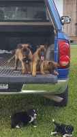 Belgian Shepherd Dog (Malinois) Puppies for sale in Fort Payne, AL, USA. price: NA