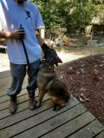 Belgian Shepherd Dog (Malinois) Puppies for sale in Greensboro, NC, USA. price: NA