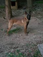 Belgian Shepherd Dog (Malinois) Puppies for sale in Atlanta, GA, USA. price: NA