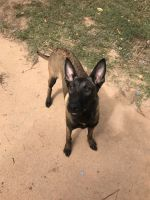 Belgian Shepherd Dog (Malinois) Puppies for sale in Cumming, GA, USA. price: NA