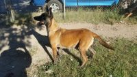 Belgian Shepherd Dog (Malinois) Puppies for sale in North Chesterfield, Richmond, VA 23234, USA. price: NA