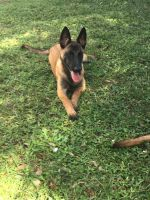 Belgian Shepherd Dog (Malinois) Puppies for sale in Palm Bay, FL, USA. price: NA