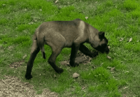 Belgian Shepherd Dog (Malinois) Puppies for sale in Houston, TX, USA. price: NA