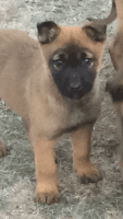 Belgian Shepherd Dog (Malinois) Puppies for sale in Garland, TX 75040, USA. price: NA