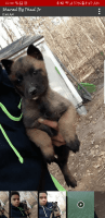 Belgian Shepherd Dog (Malinois) Puppies for sale in Waverly Hall, GA 31831, USA. price: NA