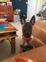 Belgian Shepherd Dog (Malinois) Puppies for sale in Chicago, IL, USA. price: NA