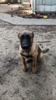 Belgian Shepherd Dog (Malinois) Puppies for sale in Vacaville, CA, USA. price: NA