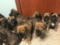 Belgian Shepherd Dog (Malinois) Puppies for sale in OH-132, New Richmond, OH 45157, USA. price: NA