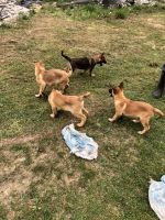 Belgian Shepherd Dog (Malinois) Puppies for sale in Indianapolis, IN, USA. price: NA