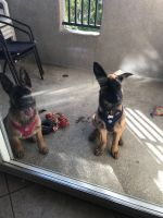 Belgian Shepherd Dog (Malinois) Puppies for sale in San Diego, CA, USA. price: NA