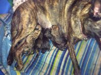Belgian Shepherd Dog (Malinois) Puppies for sale in Normalville, PA 15469, USA. price: NA