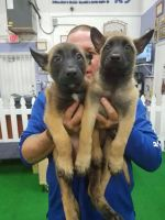 Belgian Shepherd Dog (Malinois) Puppies for sale in Fort Lauderdale, FL 33312, USA. price: NA