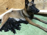 Belgian Shepherd Dog (Malinois) Puppies for sale in Conyers, GA 30094, USA. price: NA