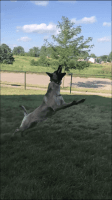 Belgian Shepherd Dog (Malinois) Puppies for sale in Davenport, IA, USA. price: NA
