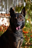 Belgian Shepherd Dog (Malinois) Puppies for sale in Ontario, CA, USA. price: NA