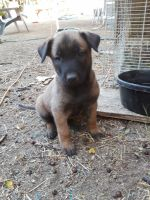 Belgian Shepherd Dog (Malinois) Puppies for sale in Wildomar, CA, USA. price: NA