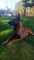 Belgian Shepherd Dog (Malinois) Puppies for sale in La Porte, IN 46350, USA. price: NA